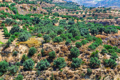 Olive fields on Crete Island in Greece Stock Photography