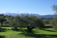 Olive fields. Snow mountain in Stylos, Kalyves, Crete island, Greece Royalty Free Stock Photo