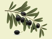 Olive filial Arkivbilder