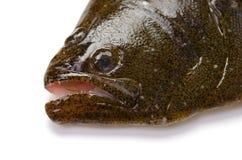 Olive flounder. Fresh olive flounder on white background Royalty Free Stock Photos
