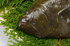 Olive flounder Stock Photo