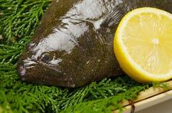 Olive flounder Royalty Free Stock Image