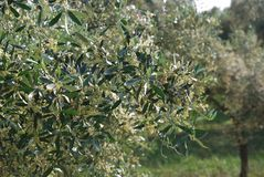Olive flowers Stock Images