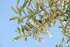 Olive flowers Royalty Free Stock Photography
