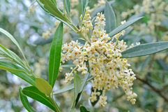 Olive flowers and buds royalty free stock photos
