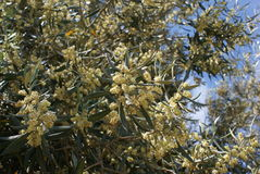 Olive flowers at olive tree branch. olea europaea. Tree blossom. botanical flowers Royalty Free Stock Image