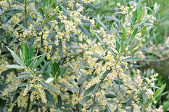 Olive Flowers. An olive tree, branches filled with emerging flowers and buds Stock Image