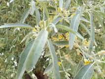 Olive flowers on tree branches. Yellow flowers and silver green leaves Royalty Free Stock Photography