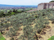 Olive forest below city center of in Assisi, Italy Royalty Free Stock Photos