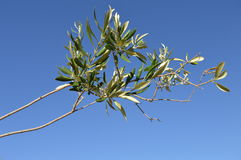 Olive fresche fotografie stock libere da diritti