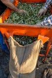 Olive fresche che raccolgono dagli agricoltori in un campo di di olivo per produzione di petrolio di olio d'oliva vergine extra Fotografia Stock