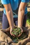 Olive fresche che raccolgono dagli agricoltori in un campo di di olivo per produzione di petrolio di olio d'oliva vergine extra Immagine Stock