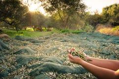 Olive fresche raccolte Immagini Stock Libere da Diritti
