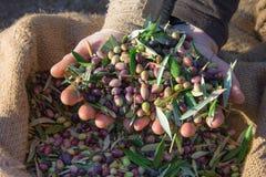 Olive fresche raccolte in sacchi in un campo in Creta, Grecia per produzione di petrolio di olio d'oliva Fotografia Stock