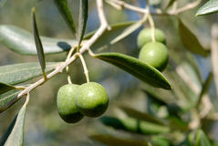 Olive fruirs Royalty Free Stock Photography