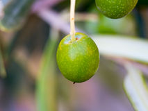 Olive fruit. Macro of an olive, a little time to mature Royalty Free Stock Images
