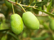 Olive fruit tree Stock Images