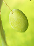 Olive fruit on tree macro Royalty Free Stock Photography