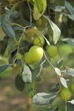 Olive fruit Royalty Free Stock Photos