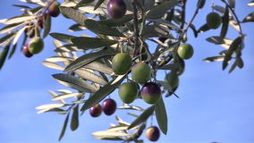 Olive fruits close up stock video
