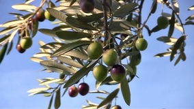 Olive fruits close up on tree stock video footage