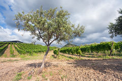 Olive Garden And Vineyard, Sicily Royalty Free Stock Image