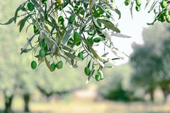 Olive branch. With olive garden Stock Photos