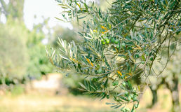 Olive branch. With olive garden Royalty Free Stock Photos