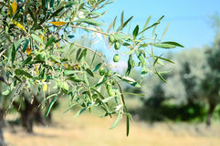 Olive branch. With olive garden Royalty Free Stock Image