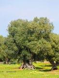 Olive garden near Ostuni, Puglia, South Italy Royalty Free Stock Photos