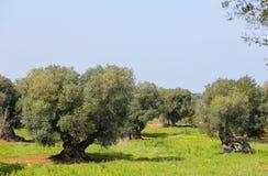 Olive garden near Ostuni, Puglia, South Italy Stock Photos