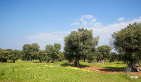 Olive garden near Ostuni, Puglia, South Italy Royalty Free Stock Images