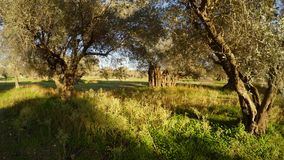 An olive garden in winter under the sun in a green grass in the Mediterranean region. Ancient Olive Trees, a collection of landscapes in an old olive garden in stock footage