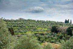 Olive Gardens av Tuscany royaltyfri fotografi