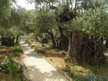 Olive Gethsemane Royalty Free Stock Photos