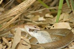 Olive Grass Snake (mossambicus de Psammophis) con la presa. Fotos de archivo