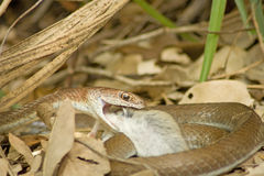 Olive Grass Snake (Psammophis-mossambicus) met prooi. Stock Foto's