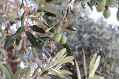 Olive greche. Fotografia Stock