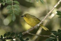 Olive-green tanager, Orthogonys chloricterus Stock Image