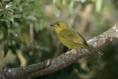Olive-green tanager, Orthogonys chloricterus Royalty Free Stock Images