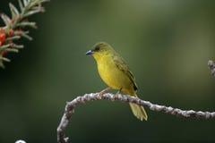 Olive-green tanager, Orthogonys chloricterus Royalty Free Stock Photo