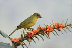 Olive-green tanager, Orthogonys chloricterus Stock Photography