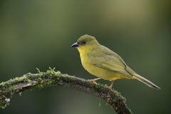 Olive-green tanager, Orthogonys chloricterus Stock Images
