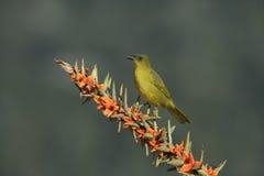 Olive-green tanager, Orthogonys chloricterus Stock Photos
