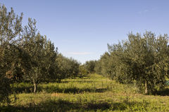 Olive grive. Part of an olive grove Stock Photography