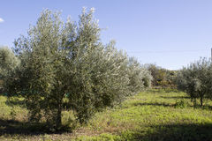 Olive grive. Part of an olive grove Stock Photos