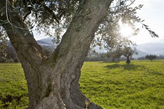 Olive grove. Closeup of an olive tree against the light in an olive grove in the hills of Abruzzo Stock Image
