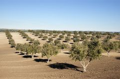 Olive Grove Royalty Free Stock Image