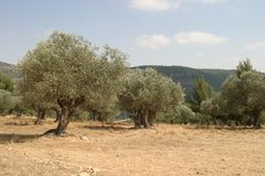 Olive grove. Near Jerusalem royalty free stock photography