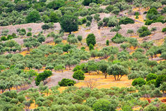Olive grove Stock Photos